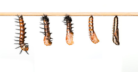 Mature caterpillar transform to cocoon of Tawny Coster butterfly