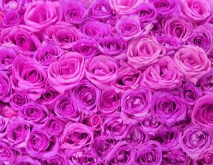Fuchsia Roses. Background