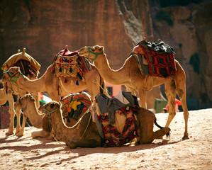 Camels caravan in the desert