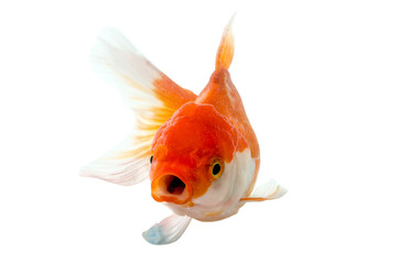 Gold fish on a white background : Clipping path included.
