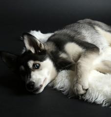 Beautiful cute husky puppy, on black background