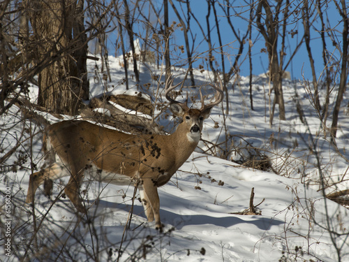 Wall mural Large Whitetailed Deer