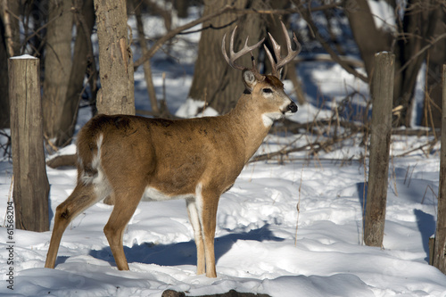 Wall mural Whitetail Buck in the winter