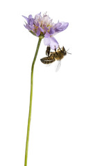 European honey bee landed on a flowering plant, foraging