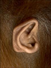 Close-up of young Bornean orangutan's ear, Pongo pygmaeus