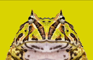 Close-up of an Argentine Horned Frog facing, Ceratophrys ornata