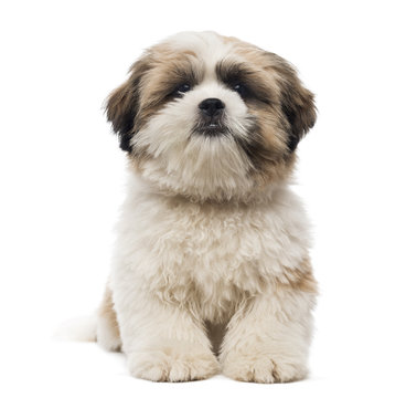 Front view of a Shih Tzu puppy lying, looking at the camera