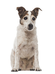 Old Jack Russell Terrier sitting, facing, 17 years old