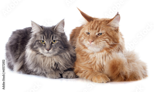 Fototapete maine coon cats