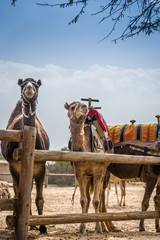Standing camels