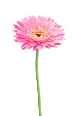Printed roller blinds Gerbera beautiful pink gerbera daisy flower isolated on white
