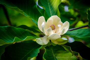Photo sur Aluminium Magnolia spring magnolia tree flower