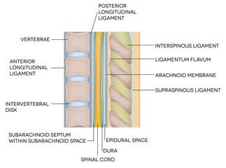 Human vertebral column with description