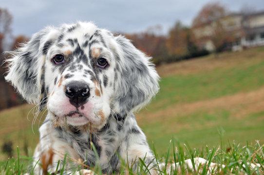 English Setter Dogs