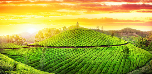 Tea plantations panorama