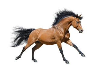 Wall Mural - Chestnut stallion in motion