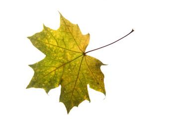 autumnal color leaf