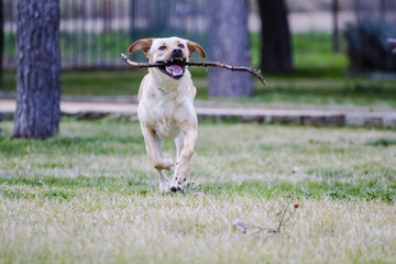 A Brown labrador running with a stick in its mouth in a grass fi