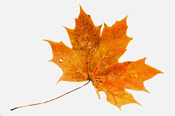 natural maple leaf on a white background