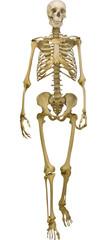 human skeleton illustration isolated on white background