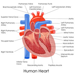 vector illustration of diagram of human heart anatomy