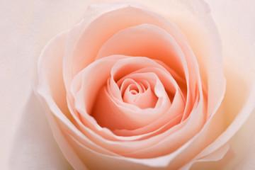 closeup photo for orange beautiful rose