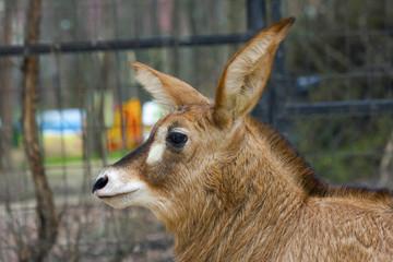 Roan antelope (Hippotragus equinus) calf