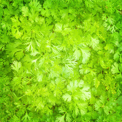 Fresh parsley background