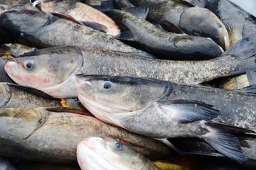 Freshwater Carp fish