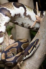 Python mit Körper