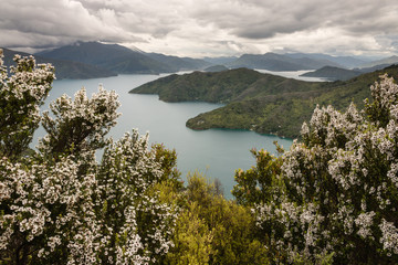 Canvas Prints New Zealand manuka trees above Queen Charlotte Sound