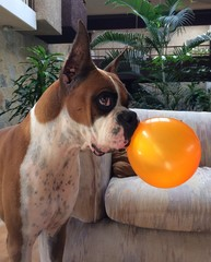boxer dog playing with a ballon