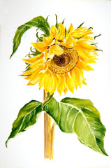 Water color painting of a Sunflower