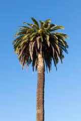 Dry palm tree over a blue sky