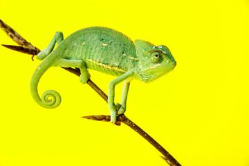 Wall Mural - chameleo