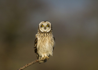 Fotobehang - Short Eared Owl