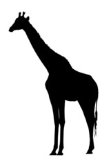 Side Profile Image of Large Giraffe Standing