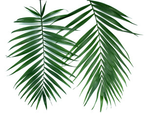 Green leaves  of palm tree (Howea) isolated on white