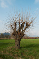 Mulberry tree in a field