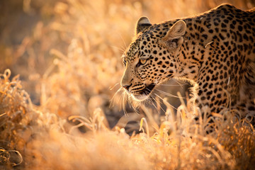 Foto auf Gartenposter Leopard Leopard Walking at Sunset