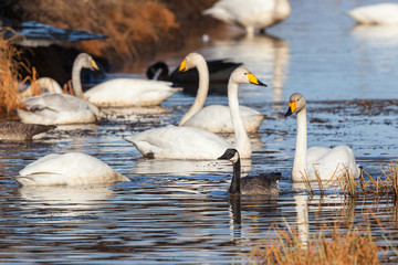 Canada Goose and Whooper Swan