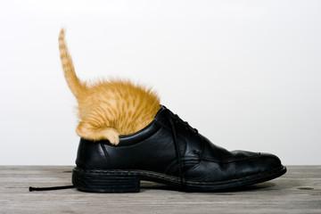 Katze erforscht einen Schuh