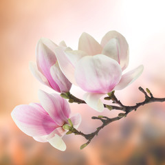 Fototapete - magnolia