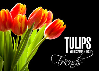 Red tulips no the black background
