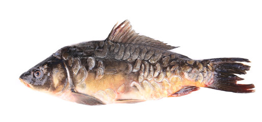 Fresh carp close up.