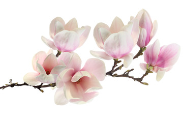Photo sur Plexiglas Magnolia spring