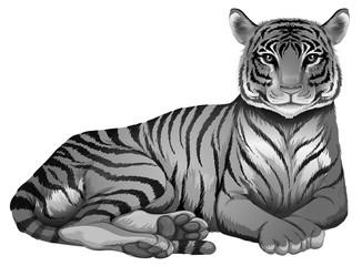A grey tiger