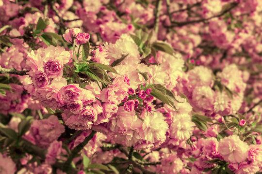 pink blossomed sakura flowers on blured background