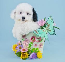 Spring Poodle