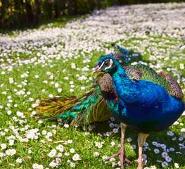 Beautiful Peacock on camomile field